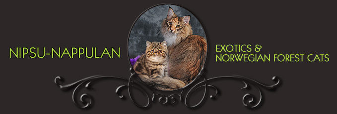 Nipsu-Nappulan Exotics & Norwegian Forest Cats