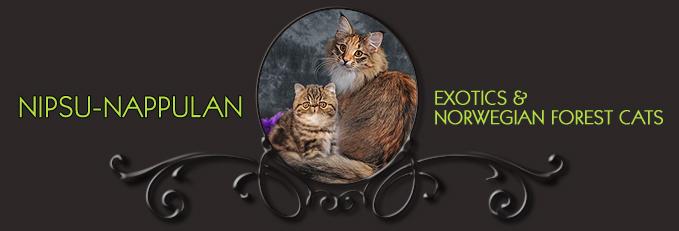 Nipsu-Nappulan Exotics & Norwegian Forest Cats